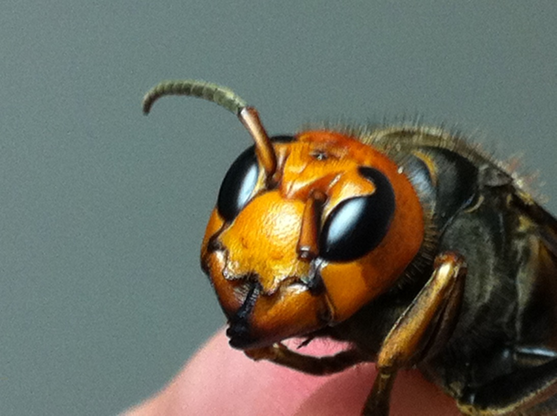 Giant chinese hornet queen