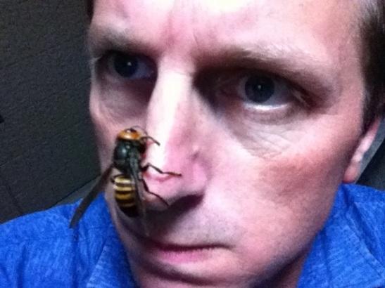 Suzumebachi Asian Giant Hornet Vespa mandarinia
