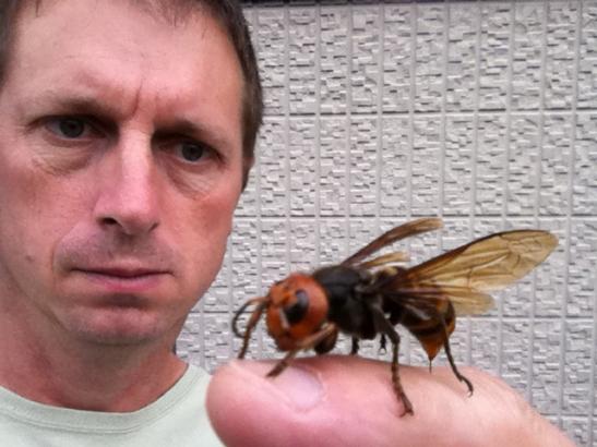 suzumebachi asian giant hornet on my finger