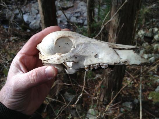 11 Japanese Tanuki skull - Valley of lost wasabi farms hike