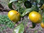 Abandoned Japanese mandarin orange farm - Feral Mandarin oranges - Abandoned Japan 08