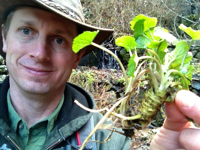japanese wasabi growing in a mountain stream  u2013 softypapa