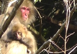 Japanese macaque mother and baby - softypapa COVER v01