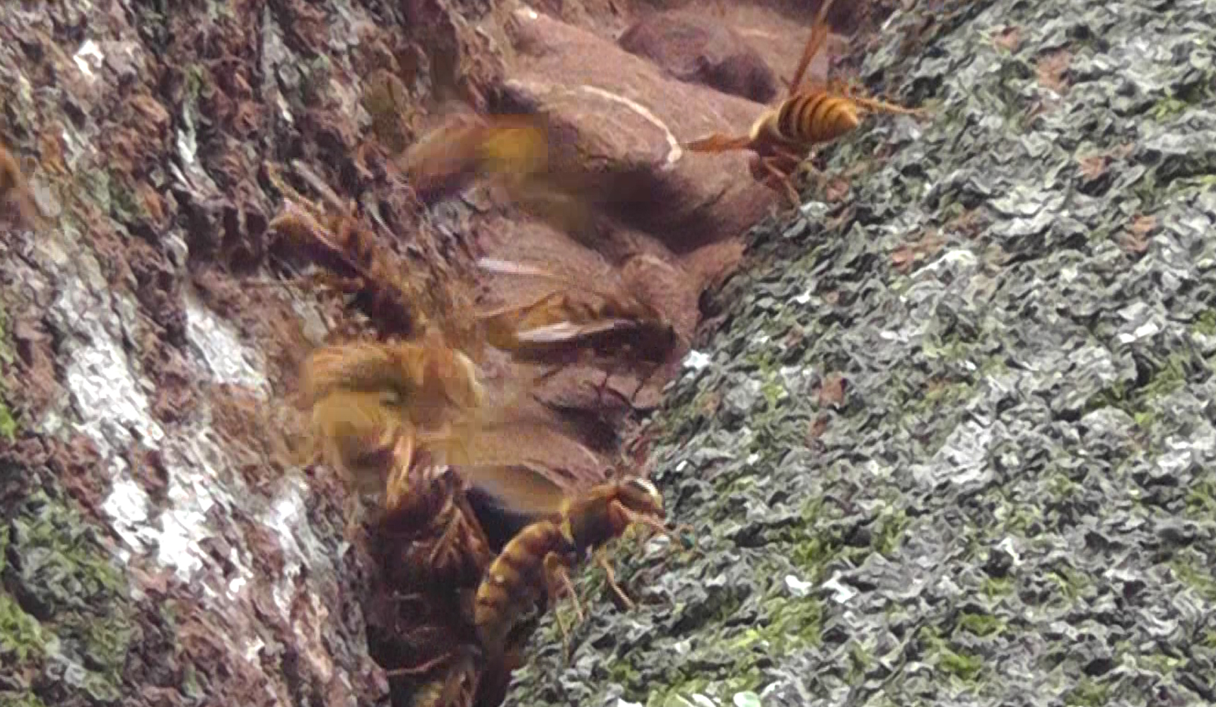 asian-giant-hornet-nest.jpg