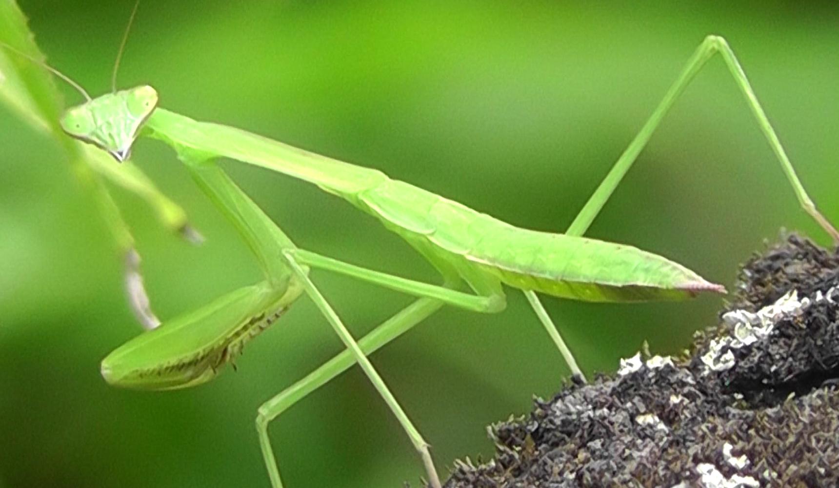 mantis project management